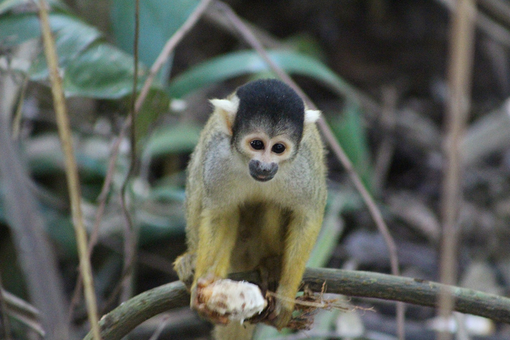 Amazon Spider Monkey Peru