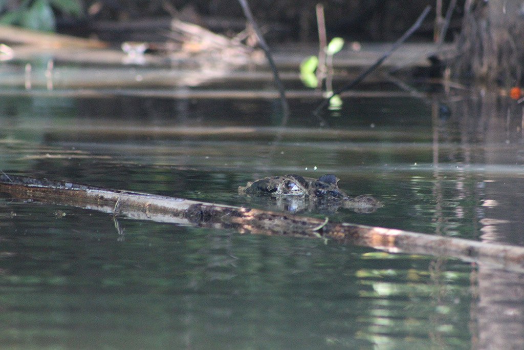 Lake Sandoval Caiman Crocodile